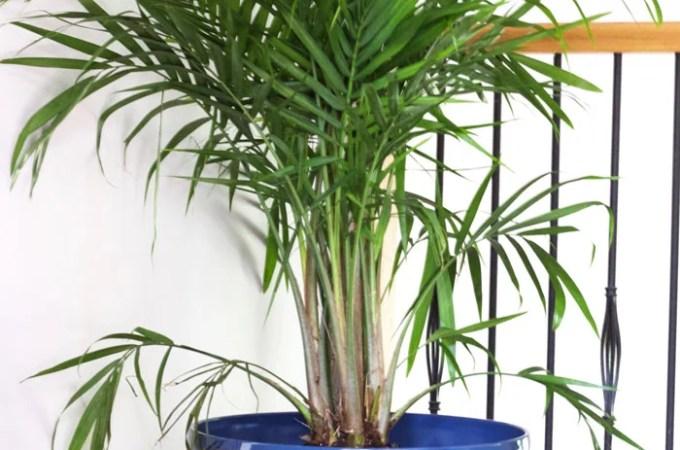 How to Properly Pot Indoor Trees - www.nikkisplate.com
