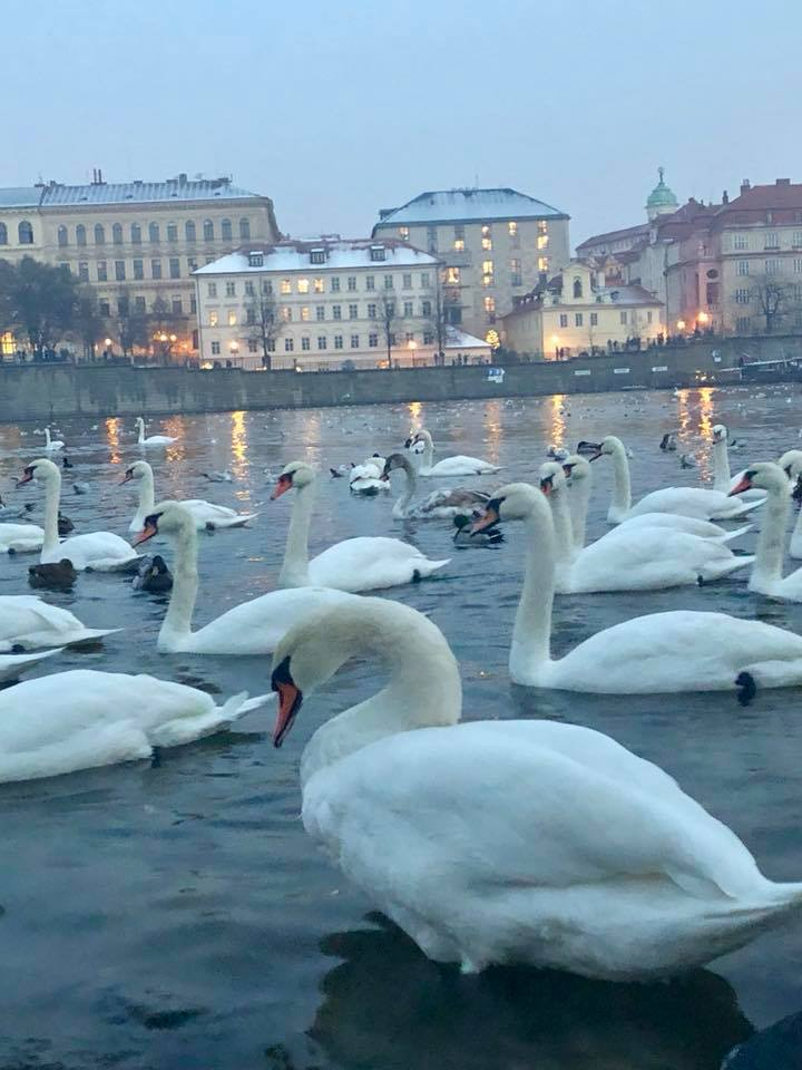 Prague in December; Here are the top 5 things to do: The Old Town Square Christmas Tree Lighting, See Swans on the Vltava River, Try Mulled Wine, Eat at U Sumavy , Christmas Markets at Night