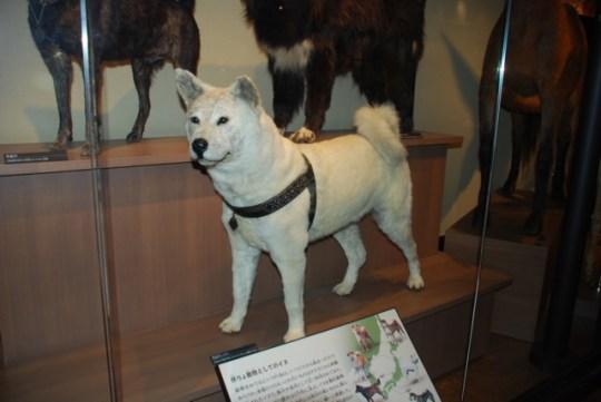 real Hachiko, Hachi, Hachikō, σκυλί
