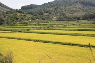 Die Reisfelder werden langsam gelb, am 03.10. ist Chuseok (Erntedankfest).