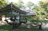der alte Baum von Magoksa