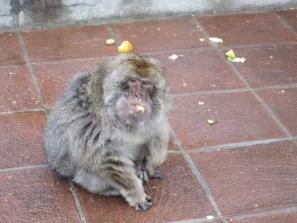 Michael, der älteste Barbary Makake Gibraltars