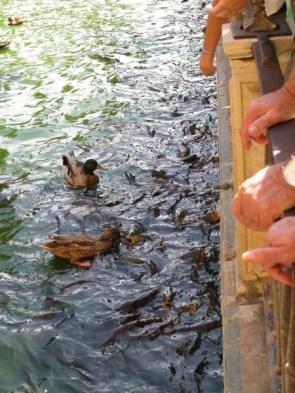 Enten und Karpfen beim Kampf ums Brot