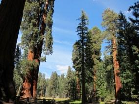 Big Trees Trail - man beachte mich zum Größenvergleich