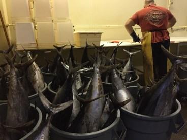Frisch gefangener Thunfisch