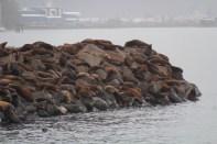 Und noch mehr Seelöwen