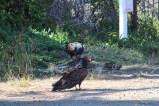 ... der Geier am Wegesrand