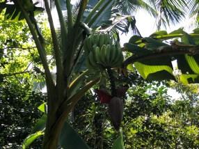 Bananen frisch vom Baum