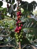 Kaffeefrüchte in unterschiedlichen Reifegraden. Die roten sind bereit zum Ernten.