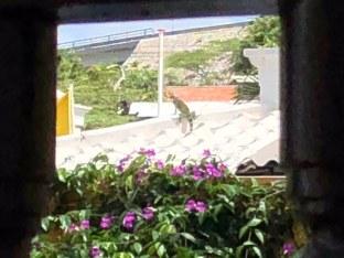 Ein Leguan auf dem Nachbardach - keine Seltenheit, zumindest lt. Reiseführer.