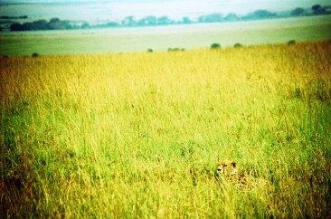 Cheetah - Maasai Mara, Kenya