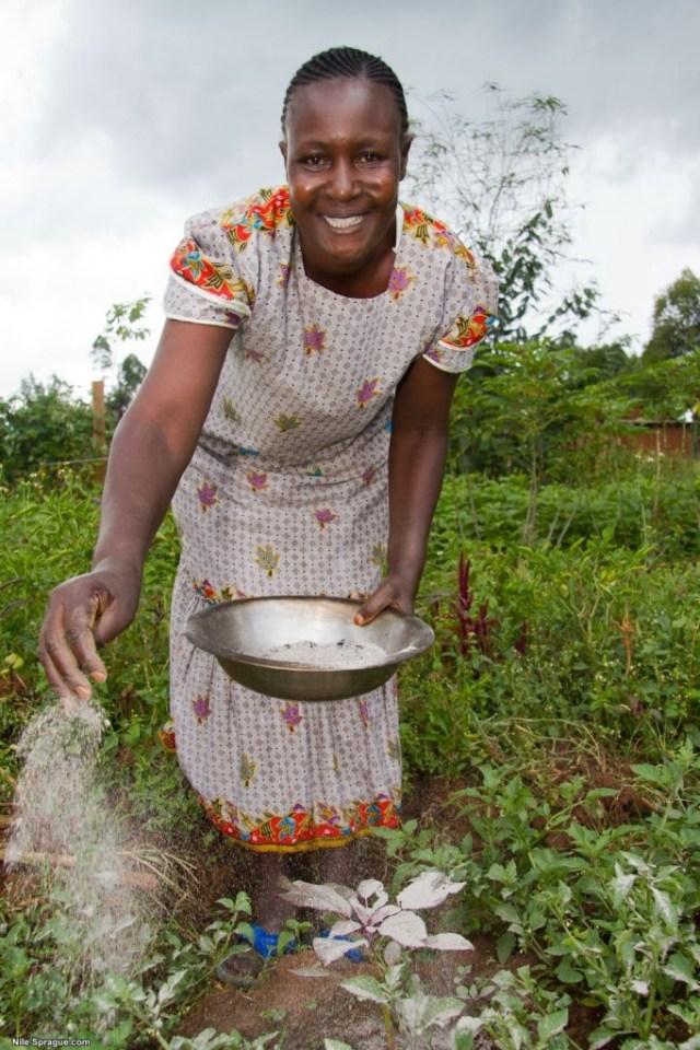 Woman applying ash to as natural pesticide, Kilili Self Help Project, Kitale, Rift Valley province, Kenya.