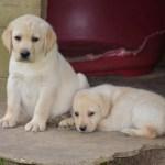 Chiot Labrador (élevage du parc)