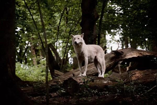 Loup blanc de Muchedent