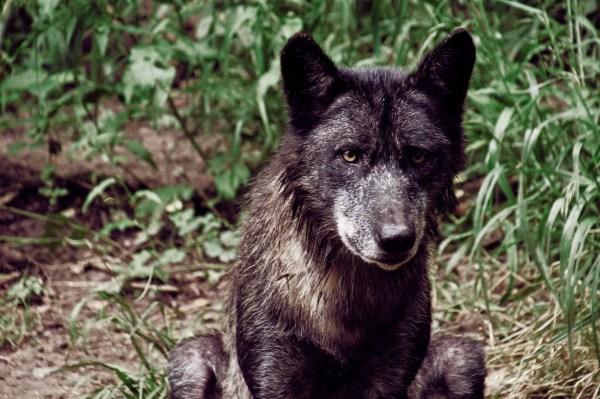 Loup noir à Muchedent