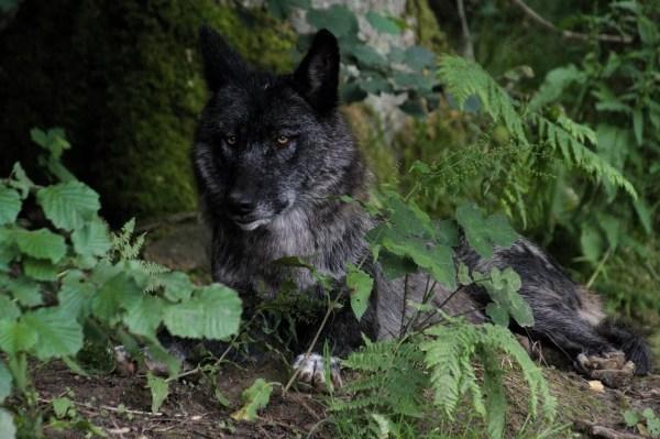Loup noir du parc Reves de Bisons