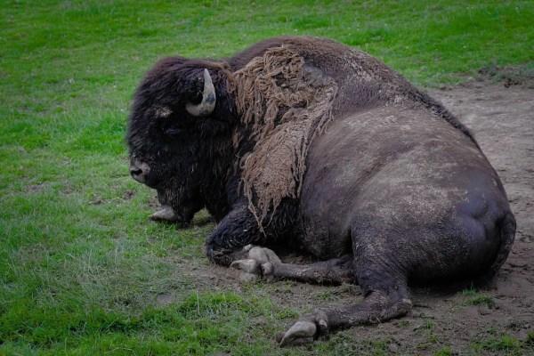 Bison du Parc de Muchedent