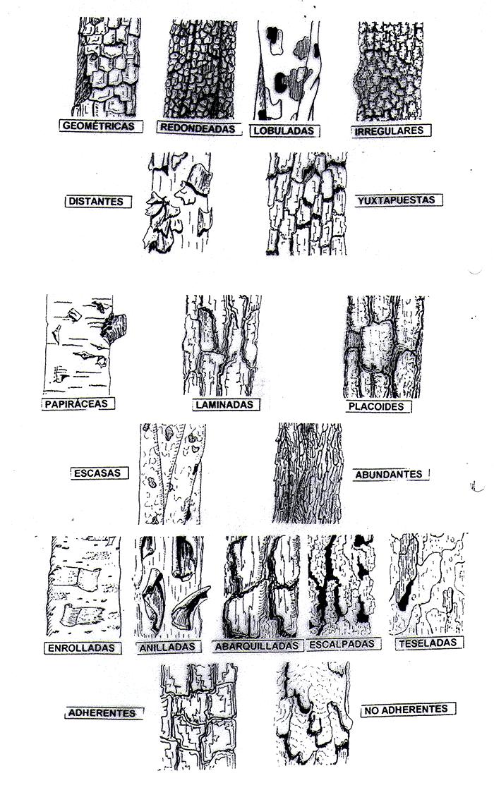 dibujar un árbol_tipos de cortezas