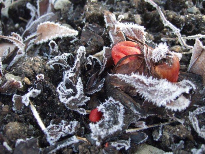 frost on rhubarb