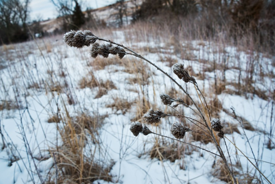 Frosted Seed Heads - Big Snow