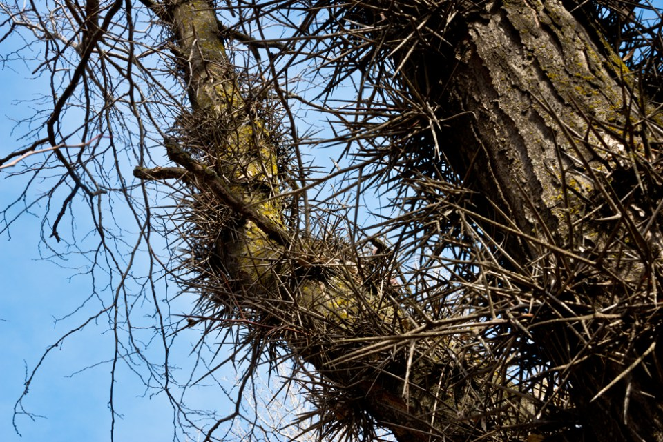 Thorny Locust Crotch