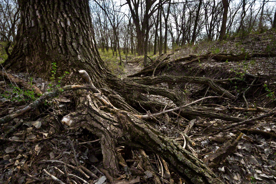 Cottonwood Roots Down the Big Draw