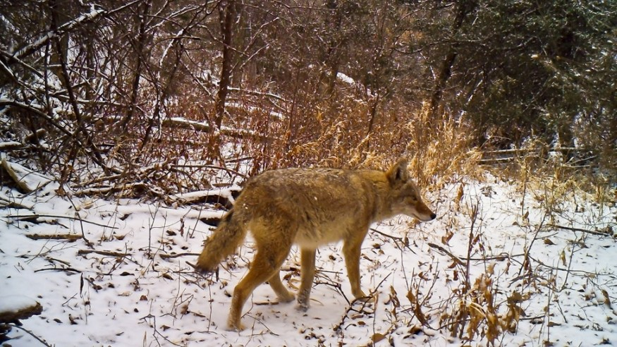 Coyote in Snow  RAW ADJ