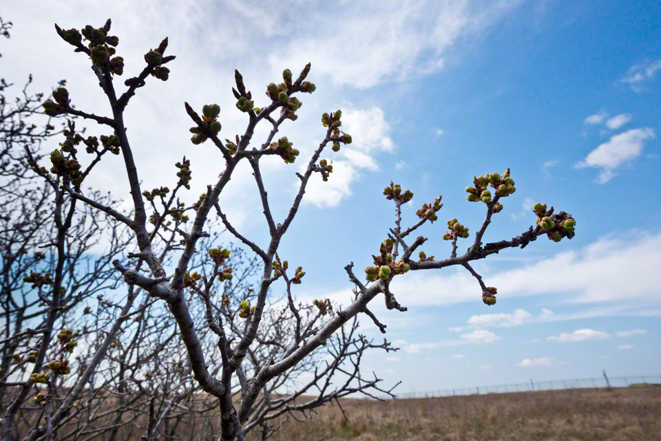 Plum Buds Yearning to Open -- Against the Sky