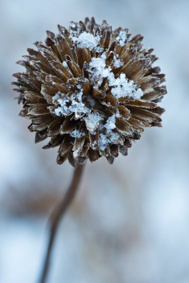 Snow Filled Seed Head #3 - First Day of Spring