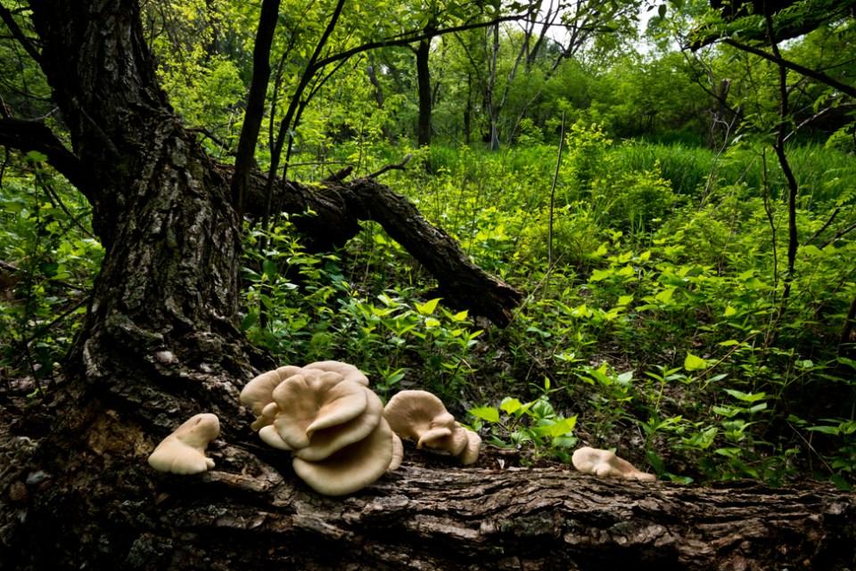 Big Ear Fungus on a Down Tree