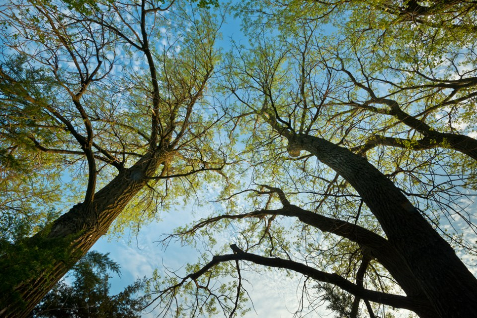 Cottonwood Canopy - New Leaves