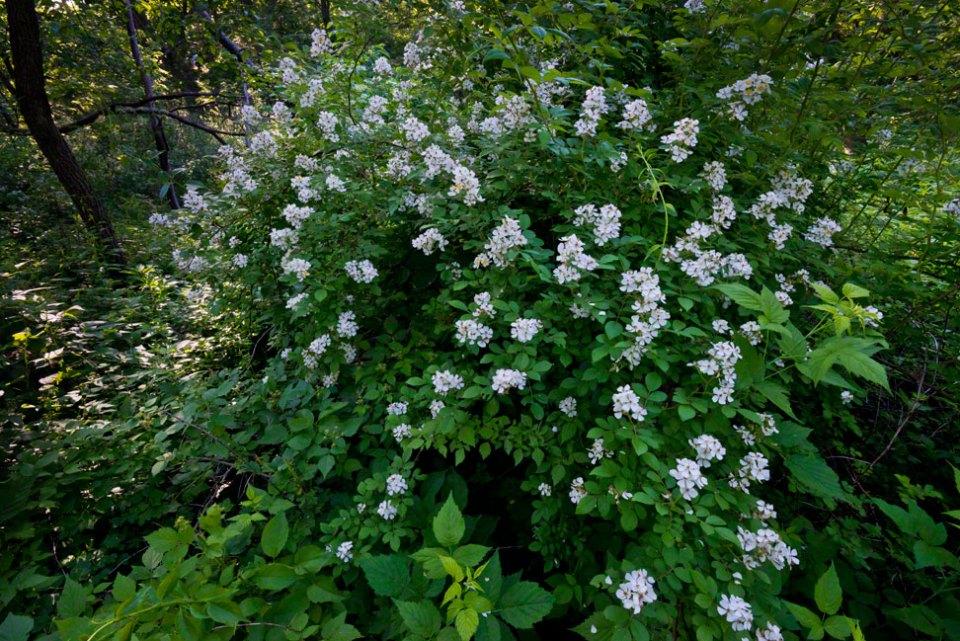 Dogwood-Bush-in-Flower