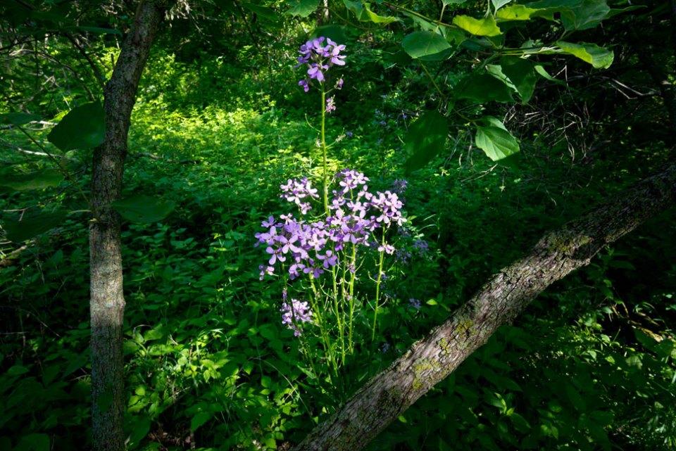 Purple-Flowers---Blue-Mustard-
