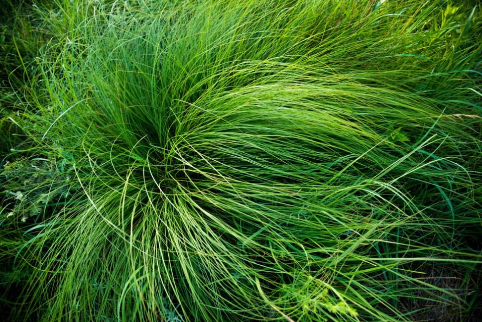 Grass Cowlick