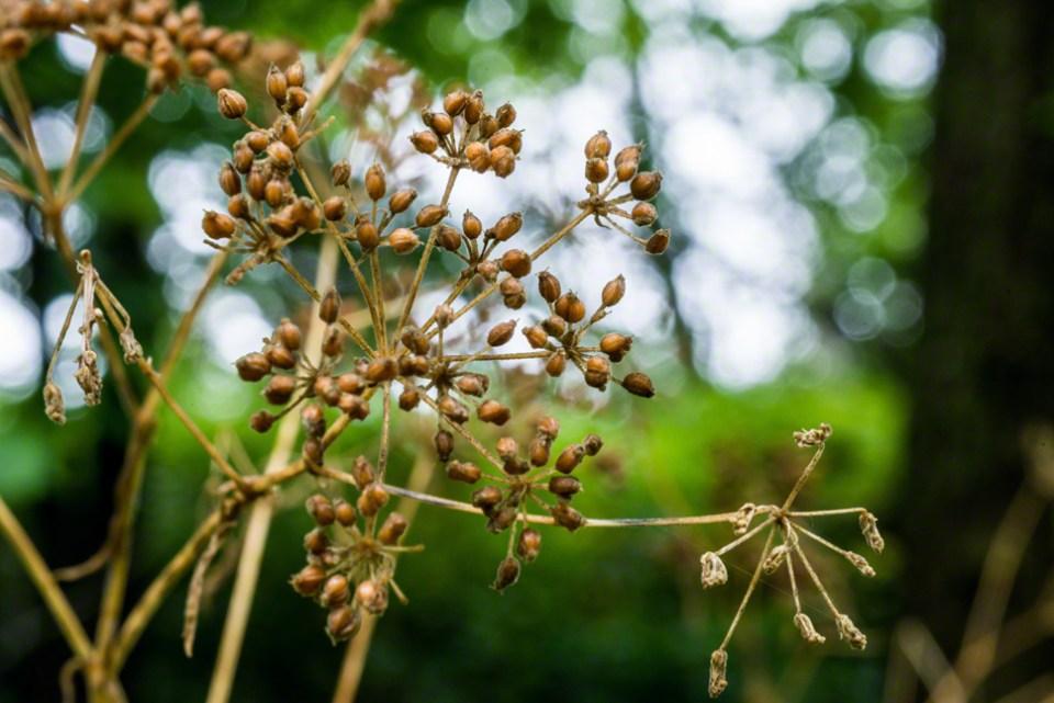 Hemlock Seeds