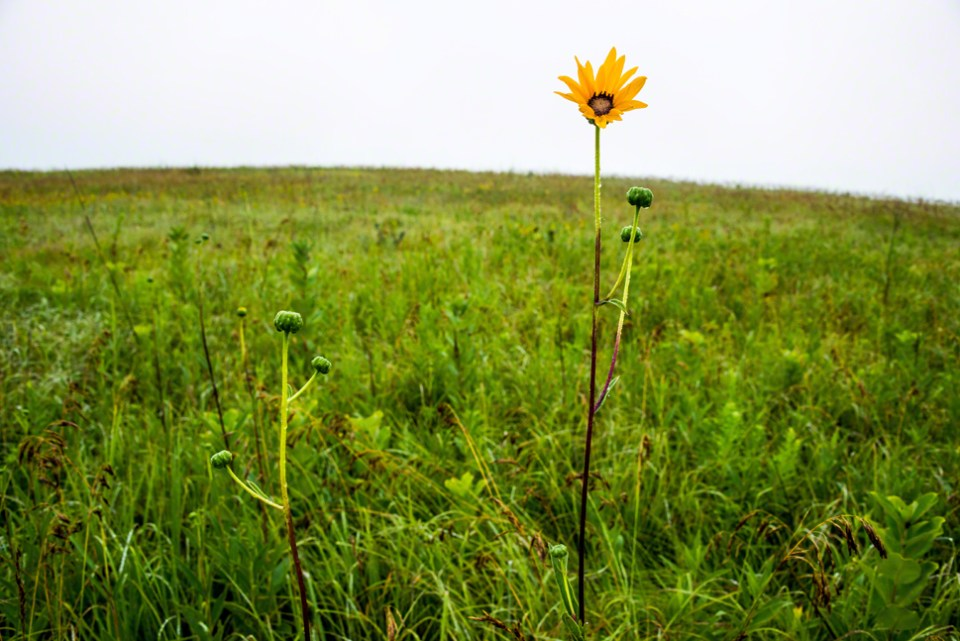 Lone Sunflower on a Rainy Day