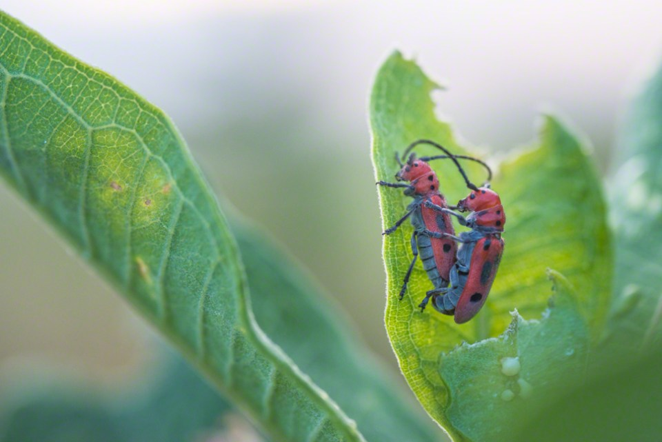 Procreating Milkweed Beetles