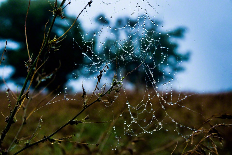 Wet Web Just Before Dawn
