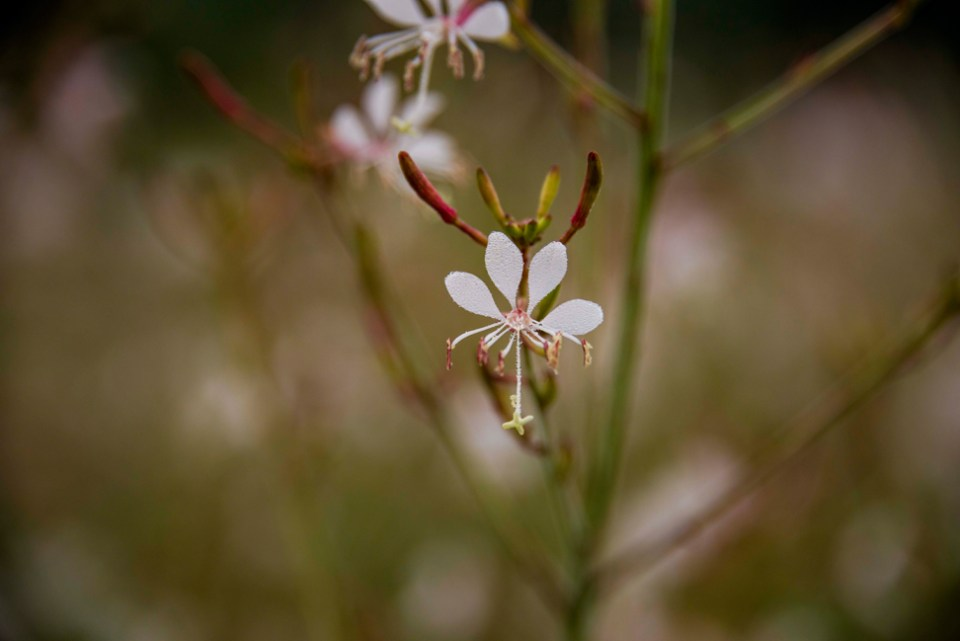 A Single Large Flowered Gaura Flower