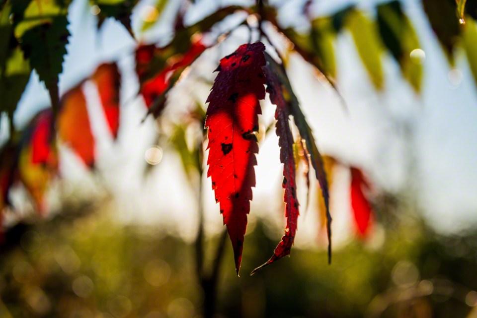 Backlit Red Sumac Leaves