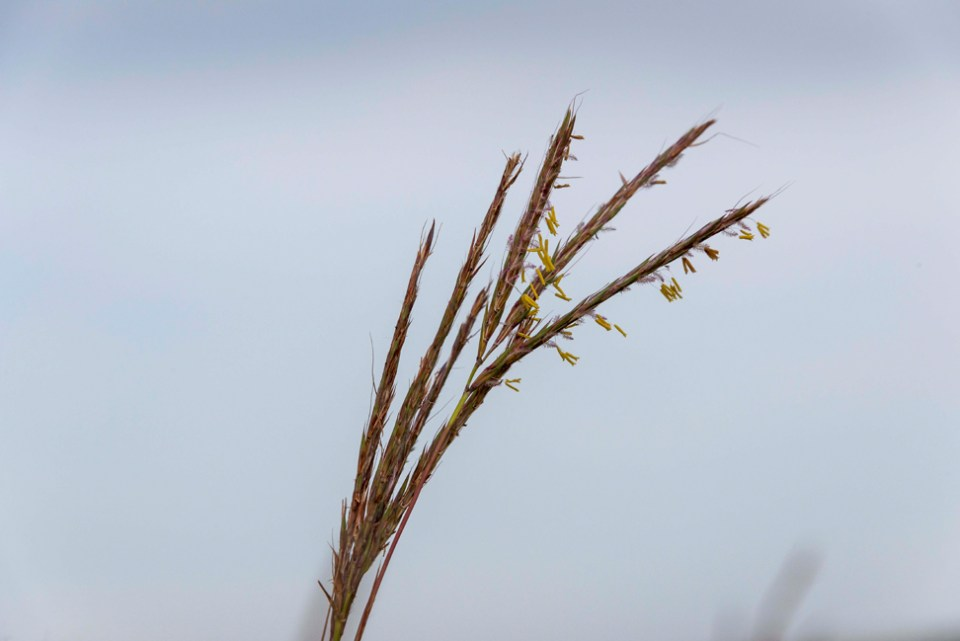Big Bluestem Flowering - CU