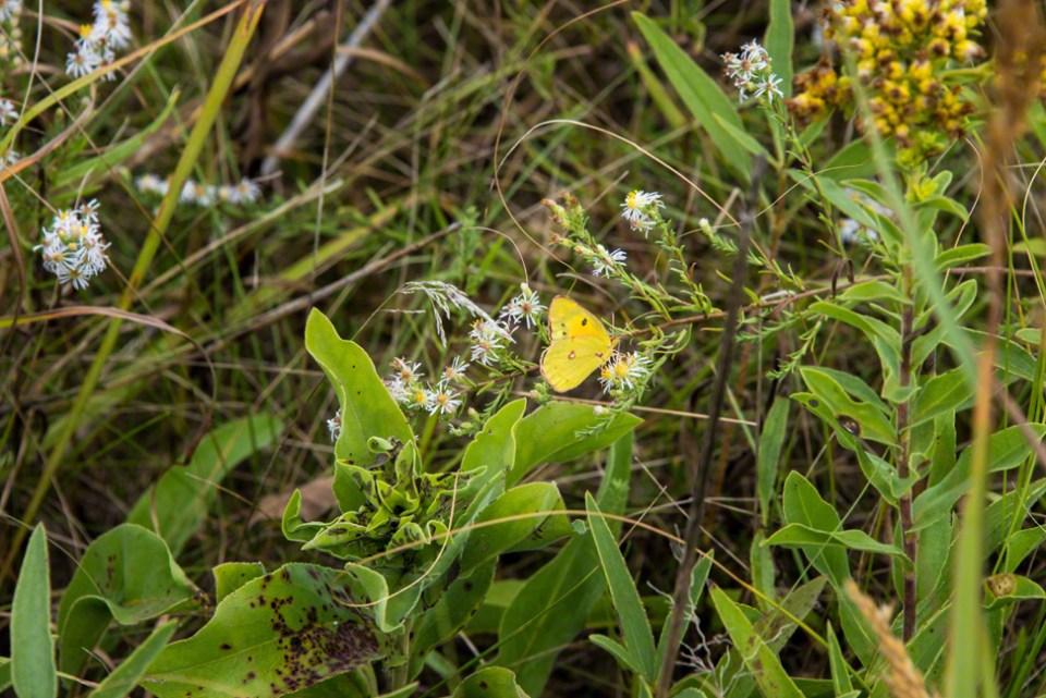 Cloudy Sulphur Butterfly