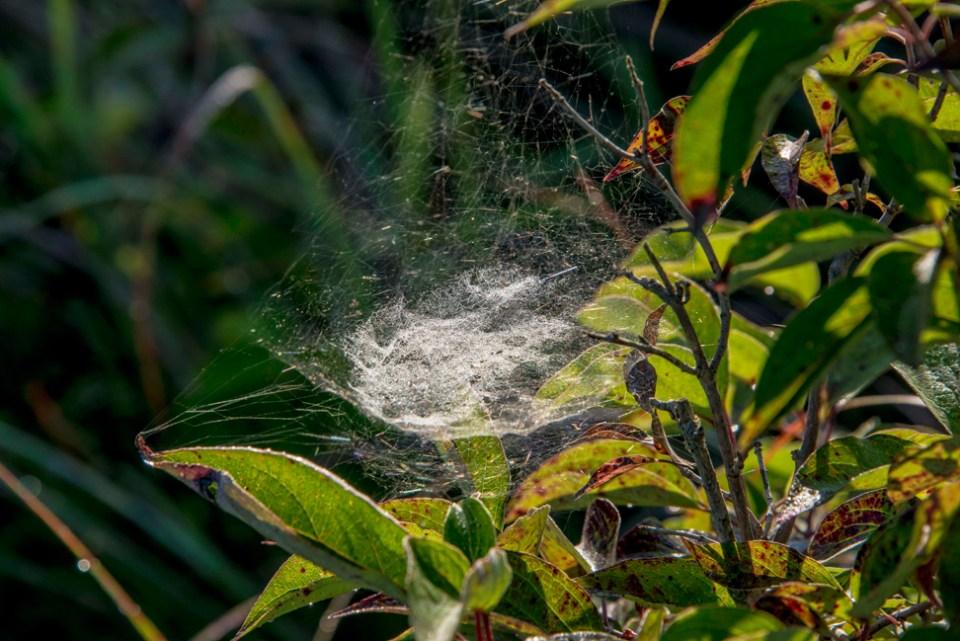 Dense Spiderweb