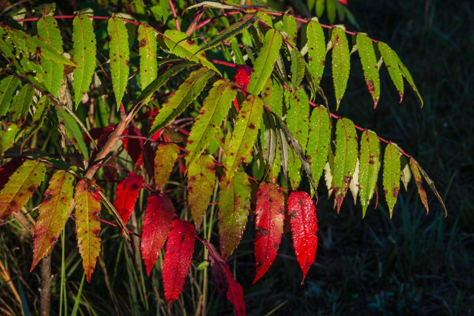 Dew Covered Fall Sumac Leaves