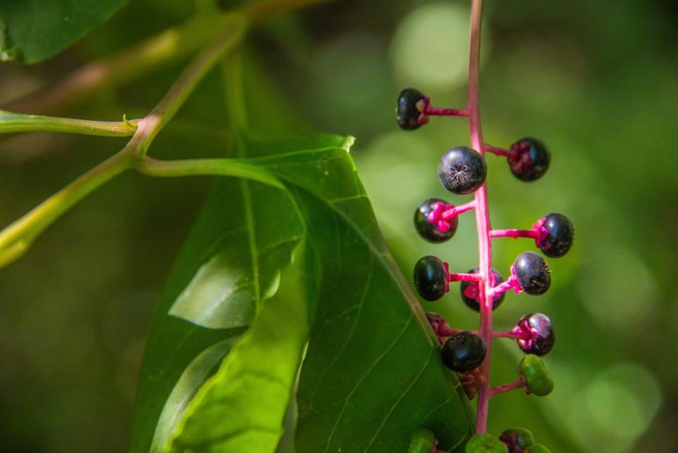 Elderberry Portrait