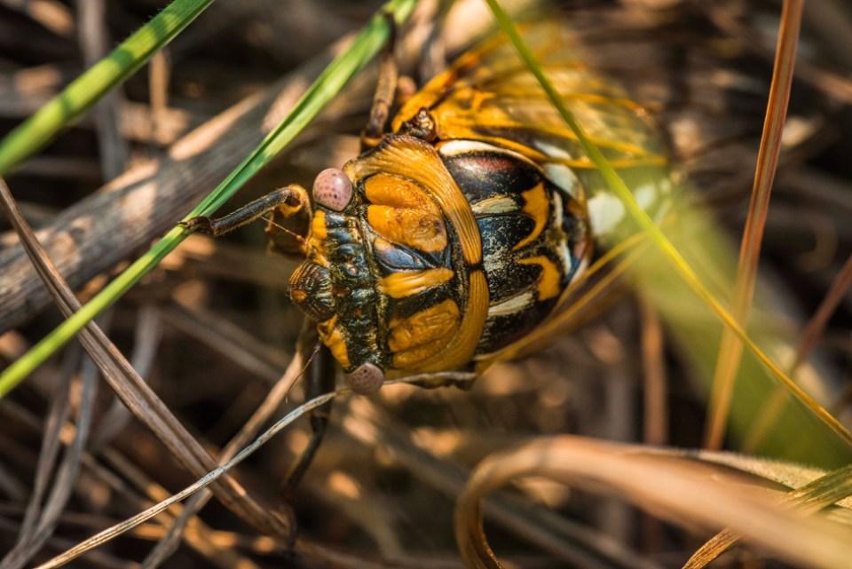 Here Comes a Prairie Cicada