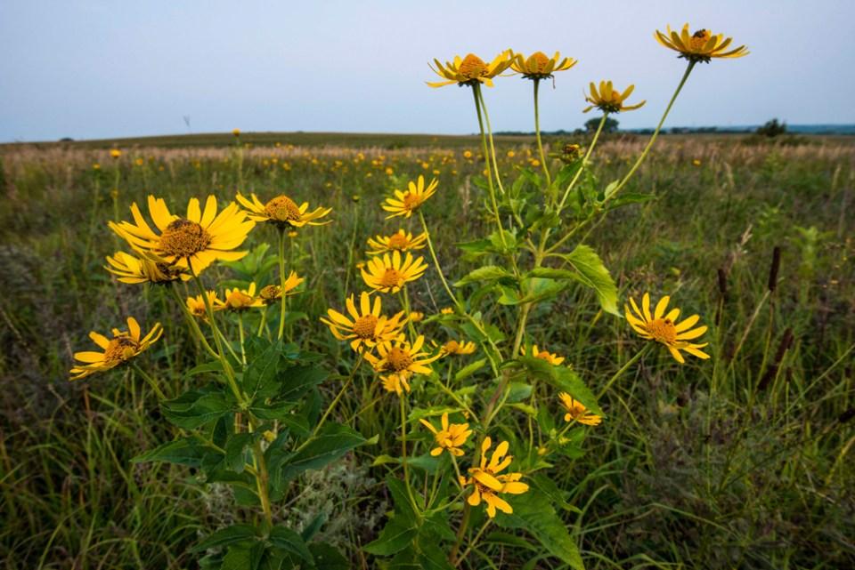 Pre-dawn Sunflowers
