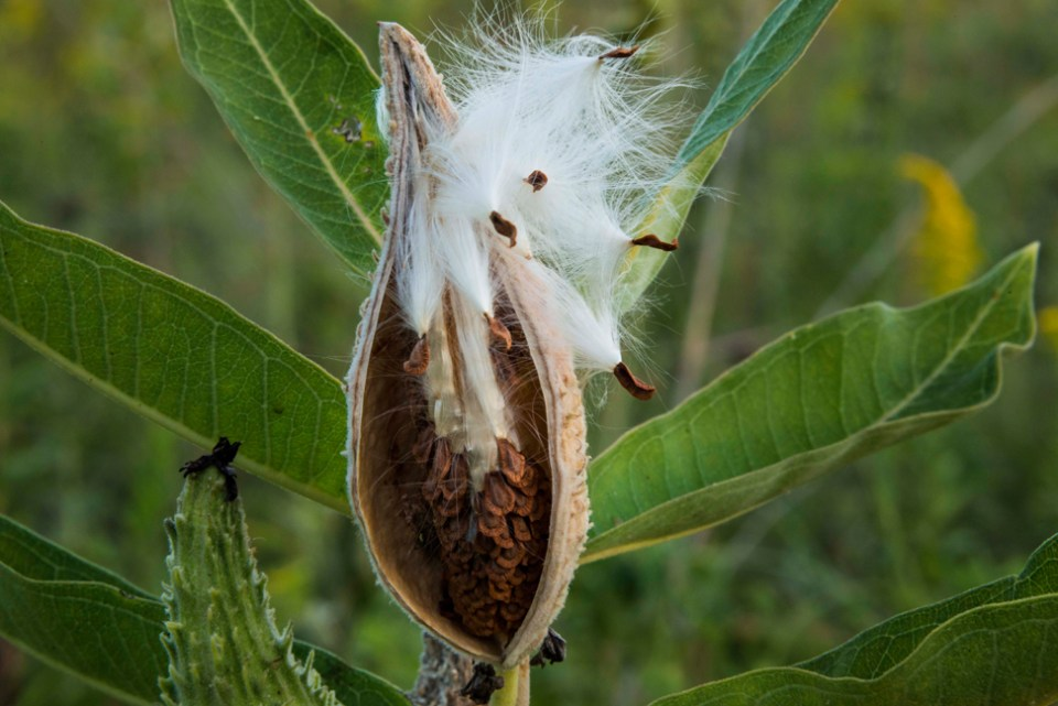 Quintessential Milkweed Pod Giving Seeds