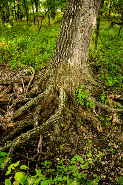 Tangleroot Cottonwood at the Bottom of the Big South Draw