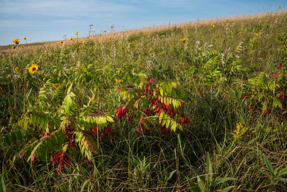 Turning Sumac and Sunflowers on a Hillside